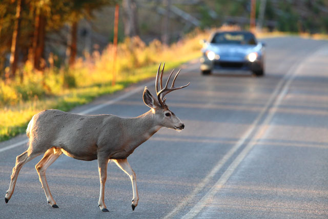 Will Hitting a Deer Change My Rates